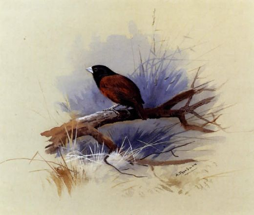 archibald thorburn a nepalese black headed nun in the branch of a tree painting