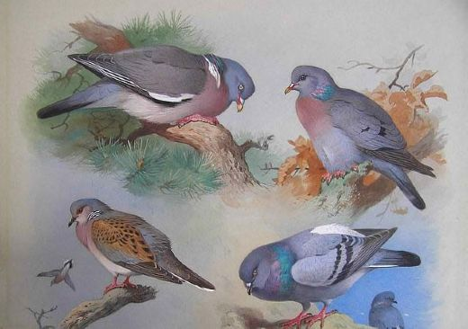 archibald thorburna wood pigeon a stock dove a turtle dove a rock pigeon Painting-77434