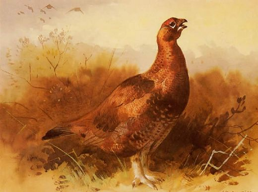 archibald thorburn cock grouse painting