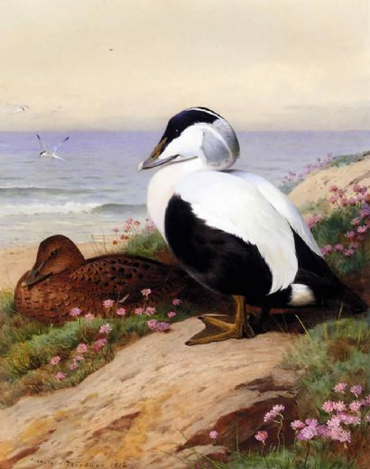 archibald thorburn common eider ducks prints