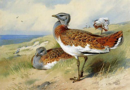 archibald thorburn great bustards painting