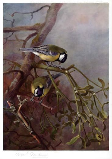 archibald thorburn great tits and mistletoe painting