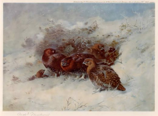 archibald thorburn grouse sheltering paintings