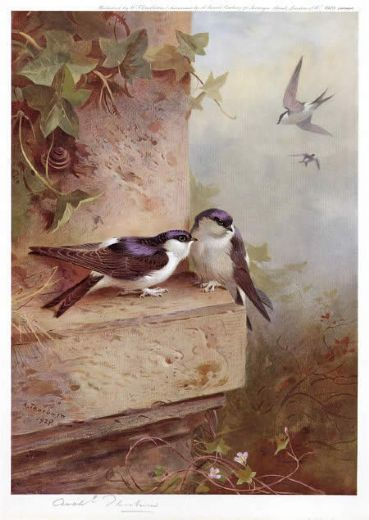 archibald thorburn housemartins painting