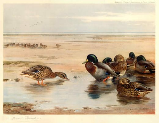 archibald thorburn mallard on the shore oil painting