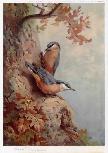 archibald thorburn nuthatches paintings