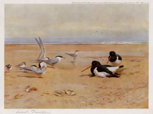 archibald thorburn oyster catchers terns and ringed plovers prints