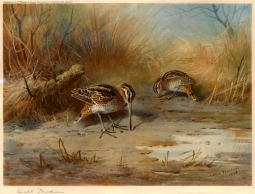 archibald thorburn snipe probing painting