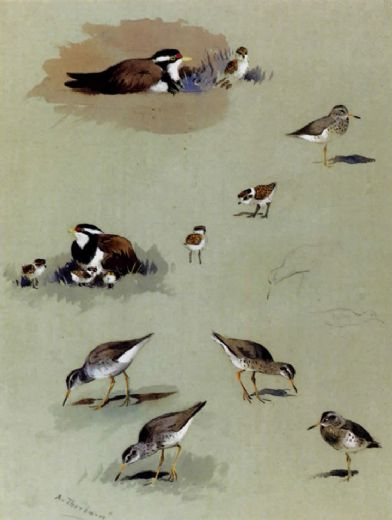 archibald thorburn study of sandpipers cream coloured coursers and other birds paintings