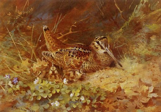 archibald thorburn woodcock and chicks painting