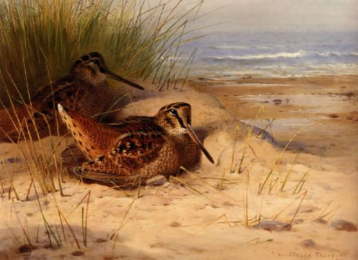 archibald thorburn woodcock nesting on a beach prints