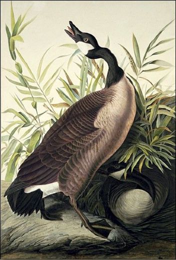 john james audubon canada goose paintings