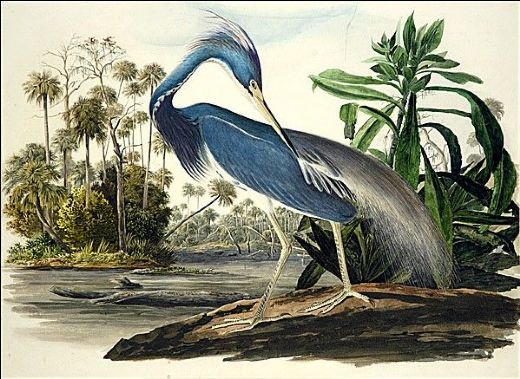 Louisiana_Heron_James_Audubon_bird_illustration