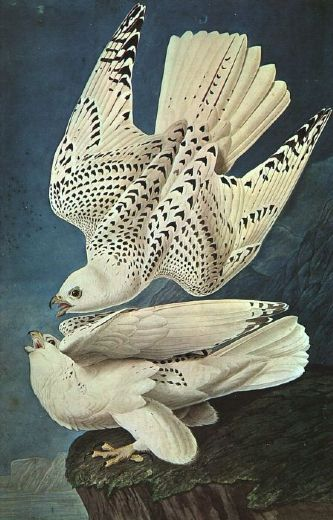 john james audubon white gerfalcons posters
