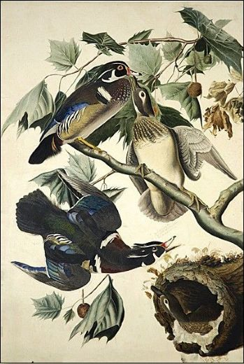 john james audubon wood duck paintings