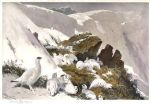 ptarmigan on snow slip by archibald thorburn painting