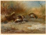 snipe probing by archibald thorburn oil paintings