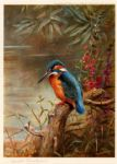 summer kingfisher by archibald thorburn painting