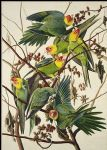 carolina parrot by john james audubon painting