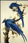 columbia jay by john james audubon painting