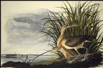 long billed curlew by john james audubon painting