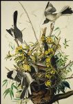 john james audubon mocking bird painting-80875