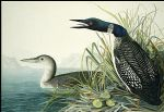 northern diver by john james audubon painting