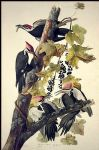 john james audubon pileated woodpecker paintings