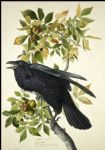 raven by john james audubon painting