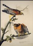 red shouldered hawk by john james audubon painting