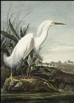 john james audubon snowy heron painting