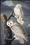 snowy owl by john james audubon painting