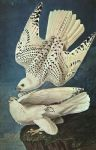 white gerfalcons by john james audubon paintings