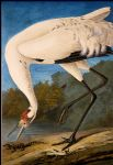 whooping crane by john james audubon painting