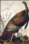 john james audubon wild turkey painting