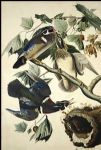 john james audubon wood duck painting