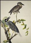 yellow crowned heron by john james audubon painting