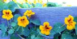 original nasturtium box canada flowers painting-86481