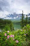 original wild roses and mountain lake in jasper national park canada flowers painting-86504